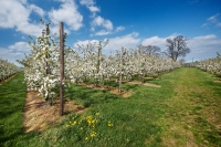 Flowering apple trees