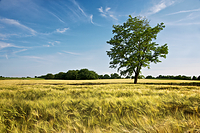 Tree in wheat field